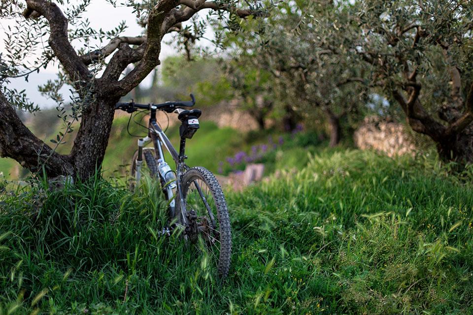 Bike in under an olive tree